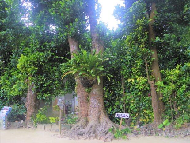 沖縄のパワースポット「フクギ並木」